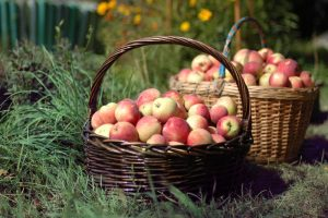 Lecture: Wither the Apples of Yesteryear