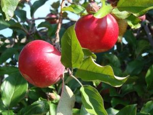 Apple Grafting Workshop